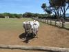 Бриони. Коровы местной исчезающей породы