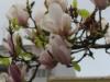 Коимбра. Магнолии цветут