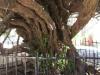 Монастырь Богородицы Пальяни. Миртовое дерево