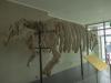 Скелет морской коровы